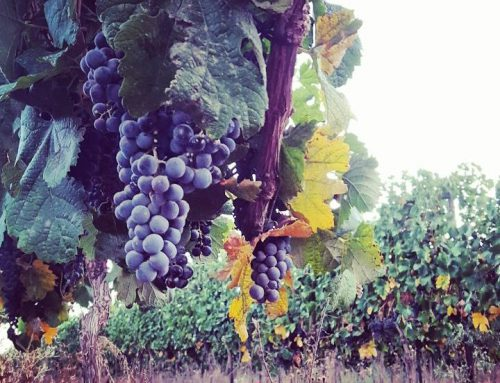 Harvest 2015 Recap for Israel Boutique Wineries