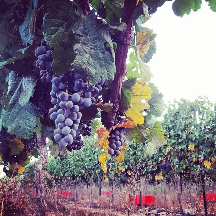 Ortal Vineyard ahead of Harvest . Photo : Ortal Winery